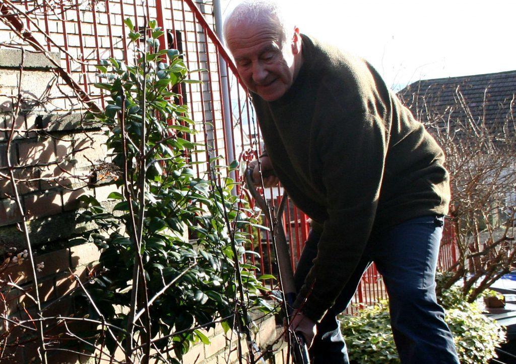 Mulching the saskatoon fruit bushes