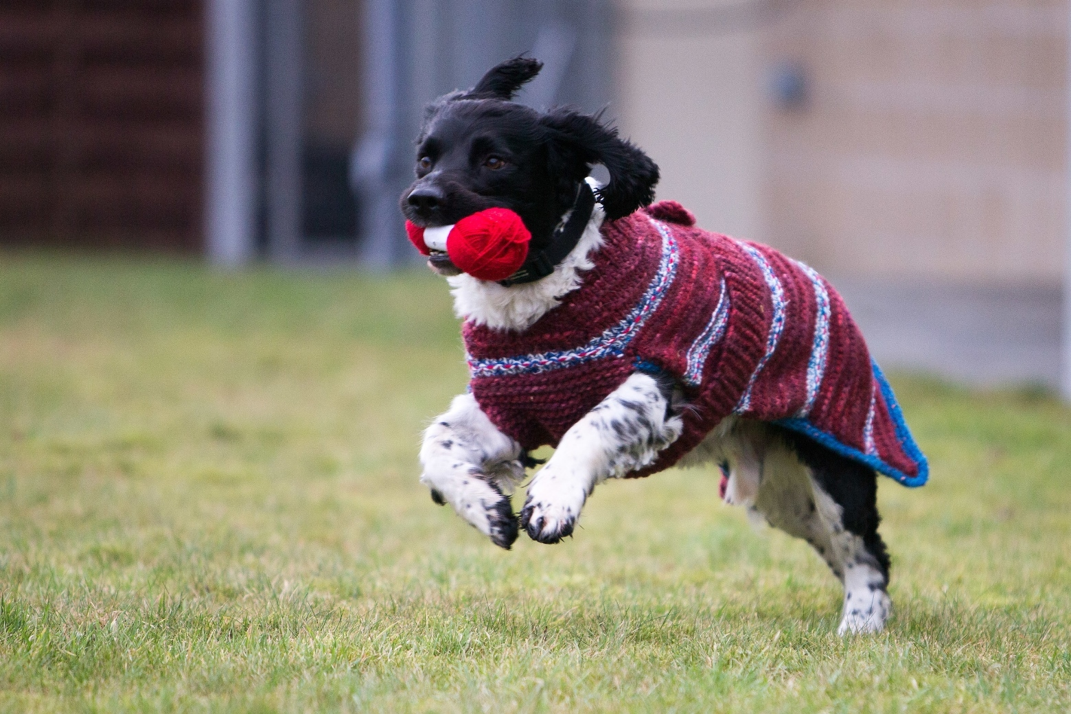 One of the rescue dogs with his new knitted coat.
