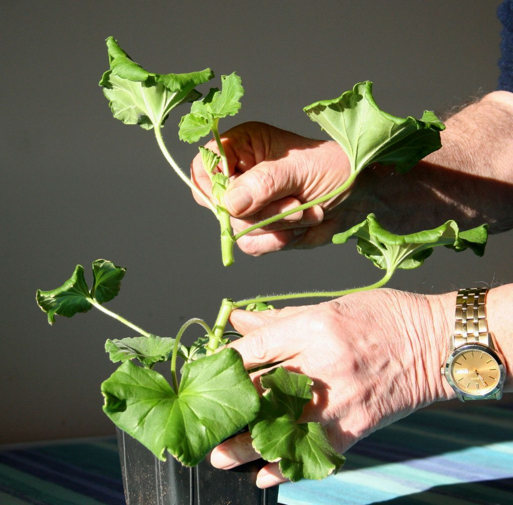 Take tops off young geraniums
