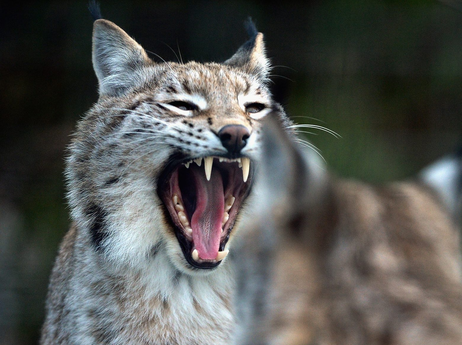 The government will not support any attempt to introduce new predatory species such as the lynx to Scotland.