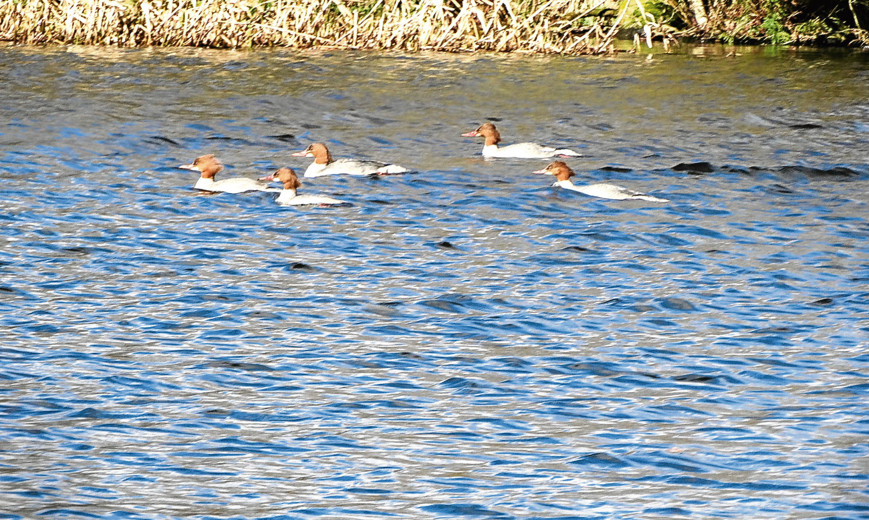 A flotilla of female and juvenile goosanders