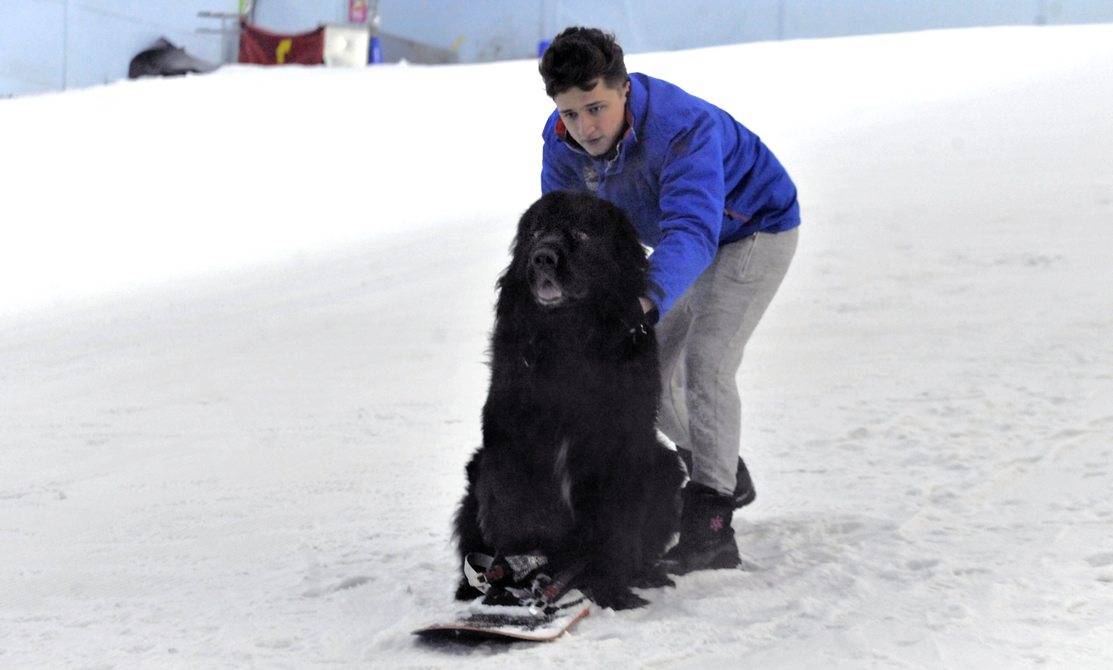 Buddy the Newfoundland tries his paw at snowboarding.