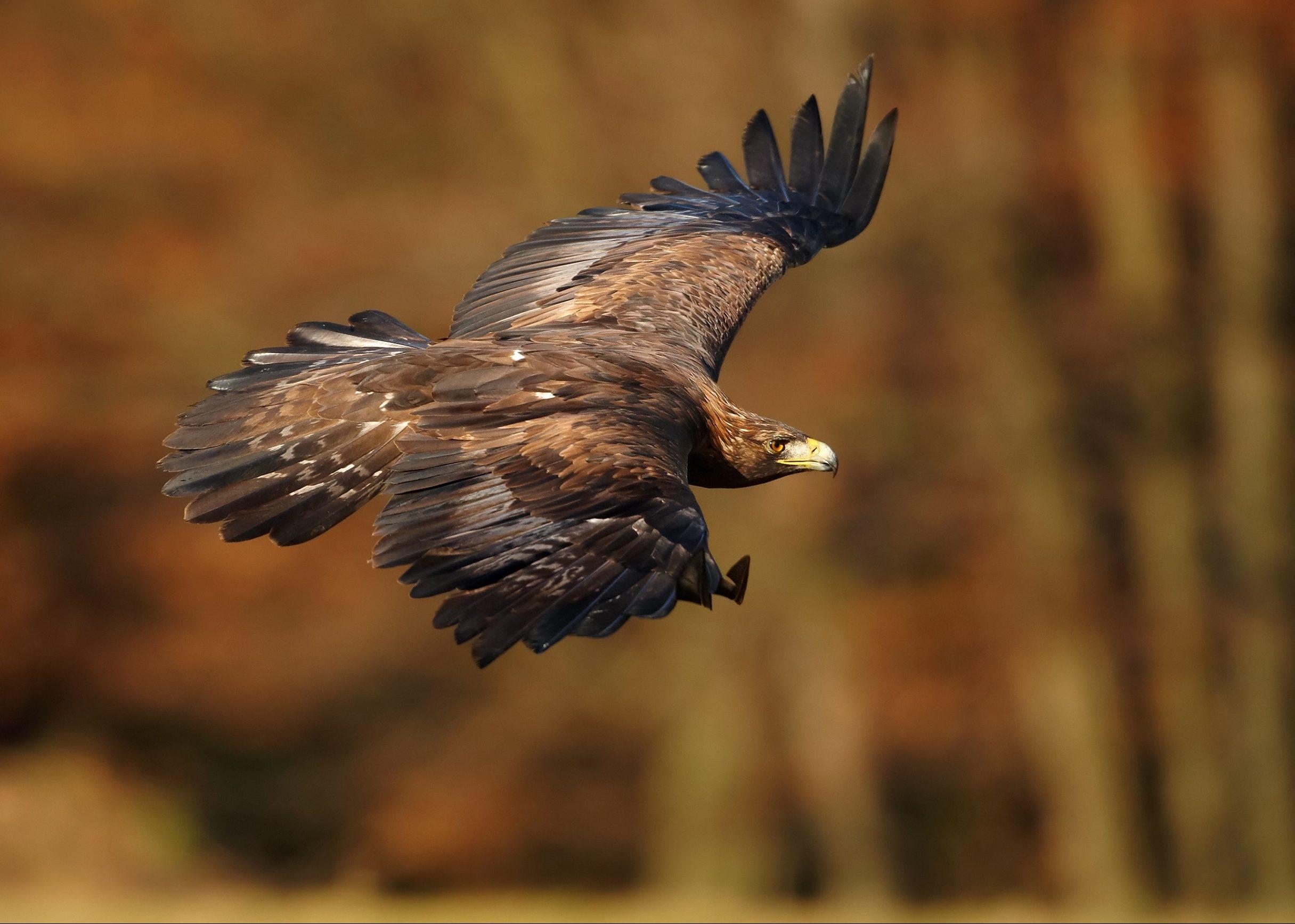 A Golden eagle.