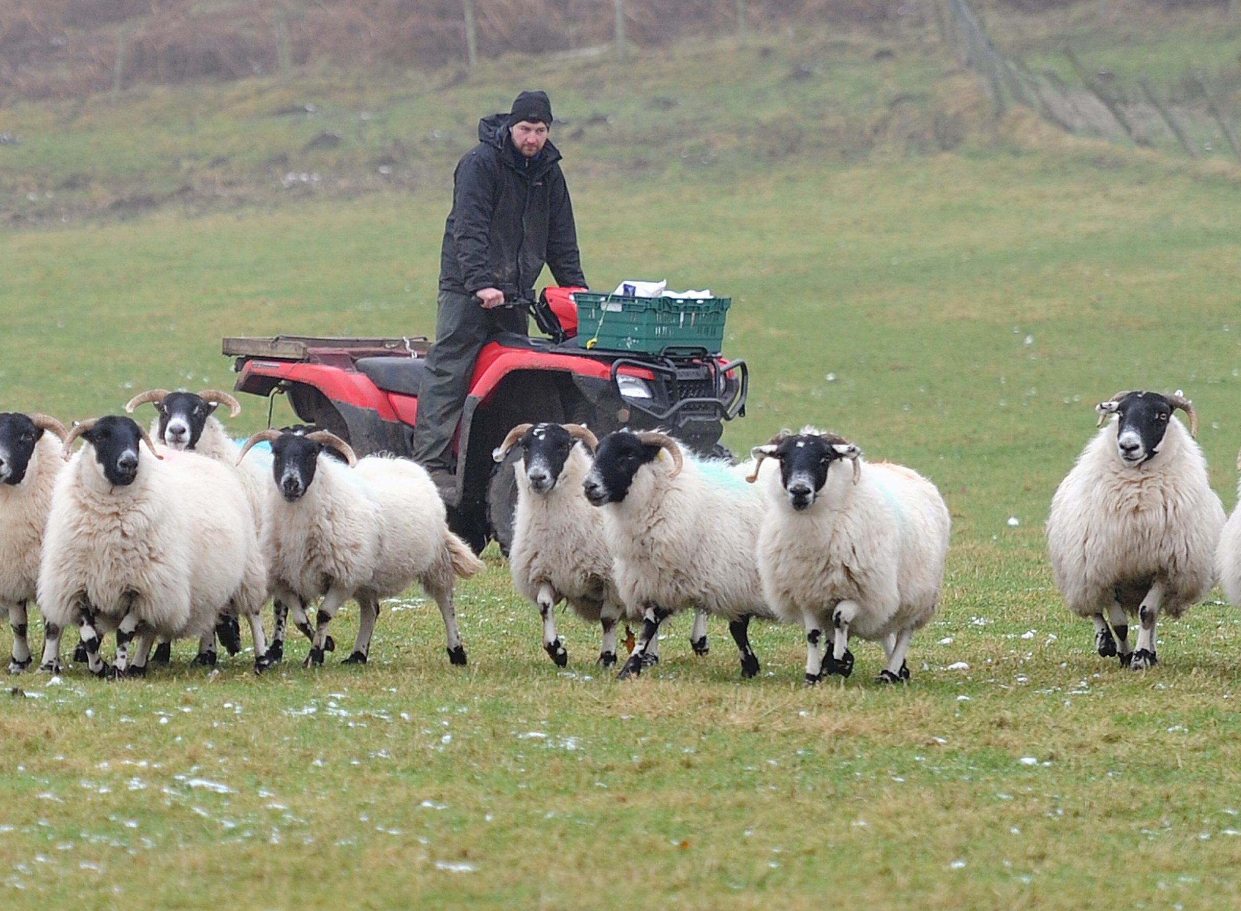 Muthill sheep farmer Tom Paterson with a flock in a field in which some were attacked.