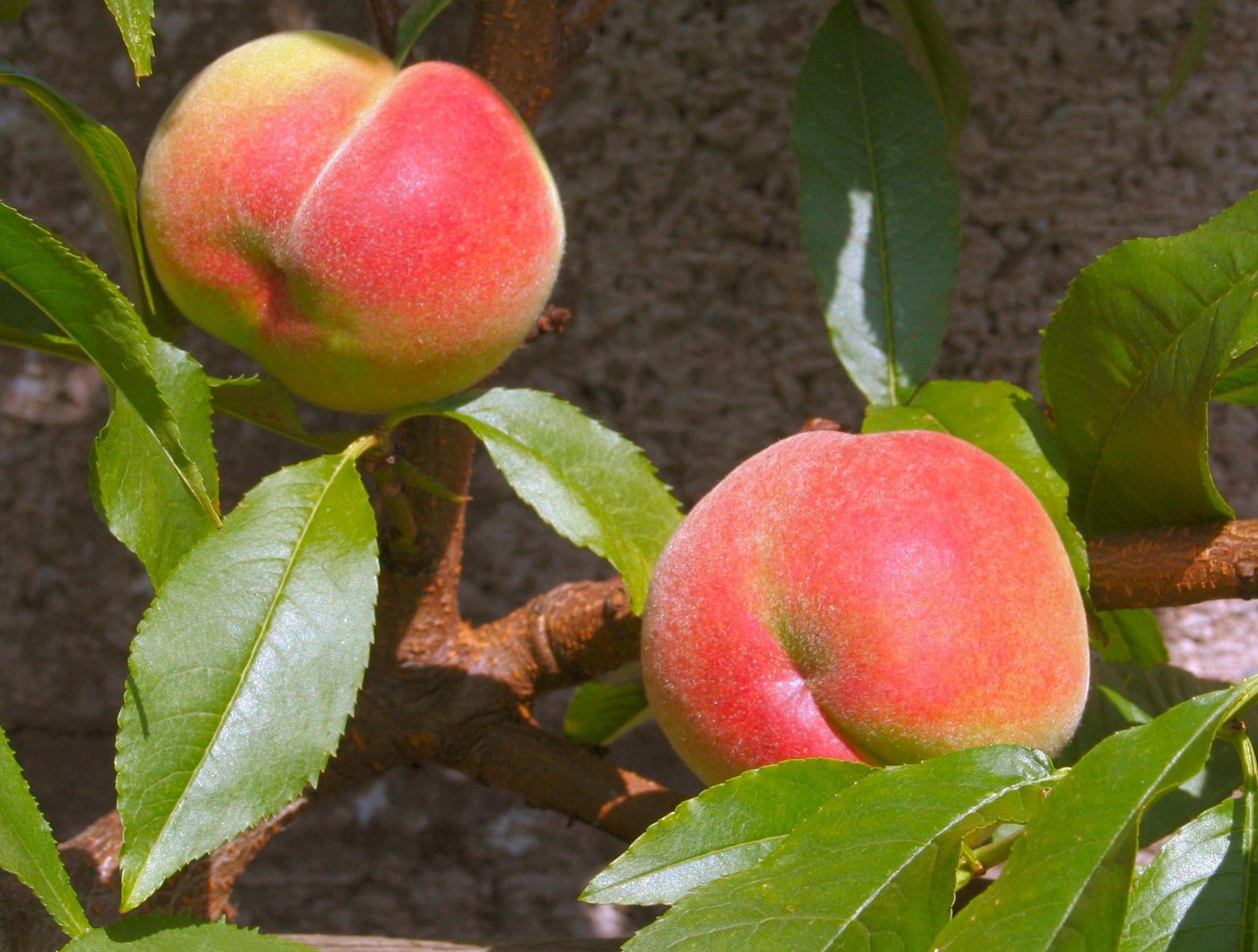Peaches Peregrine