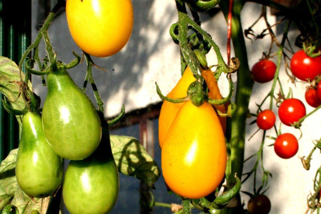 Tomato Ilde