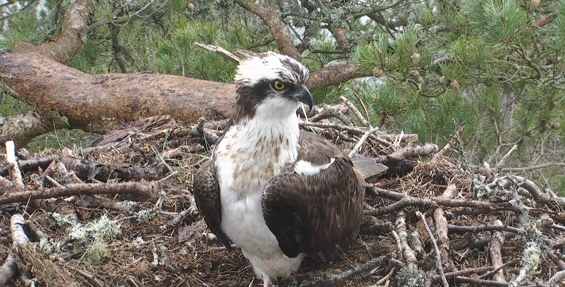 The reserve webcam shows the osprey, believed to be LM12, has returned.