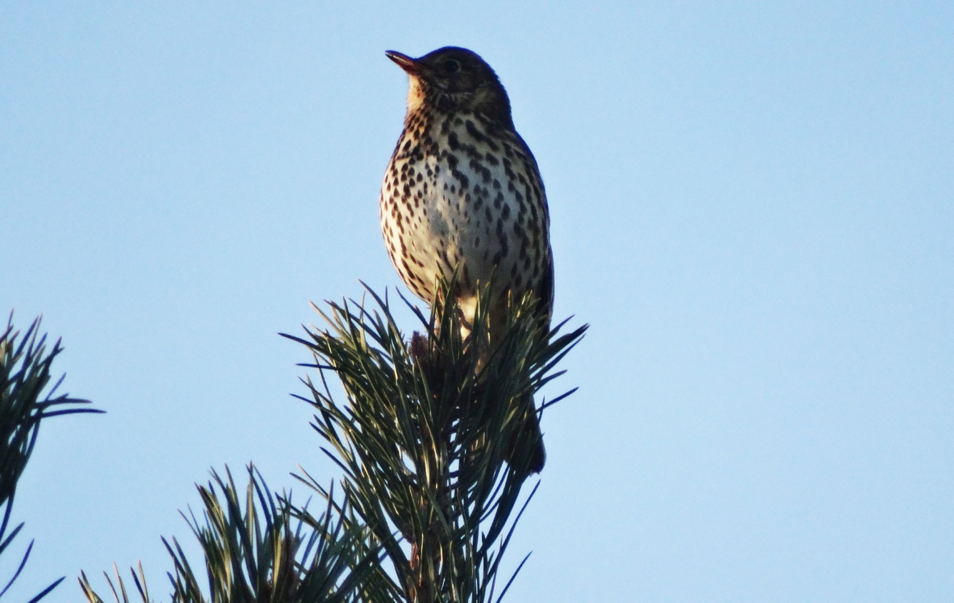 A mistle thrush takes in the view from high branches.