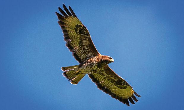 A bird of prey in flight near Kinfauns, Perth and Kinross.