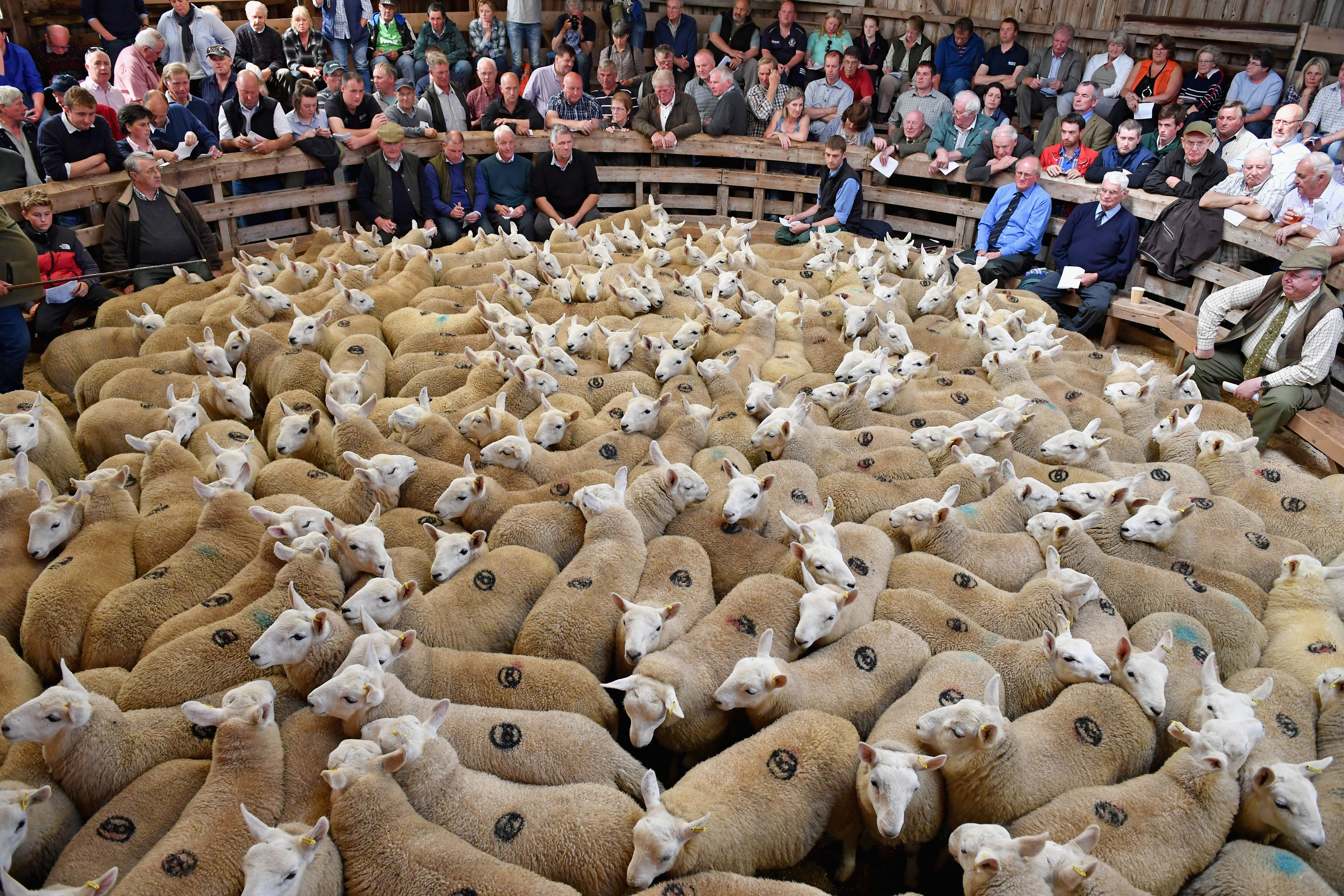 Trade for prime lambs will influence prices at the big store sales which start at the end of the month