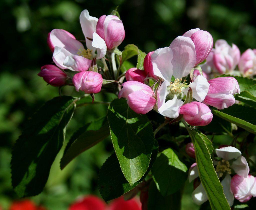 Apple blossom Red Falstaff