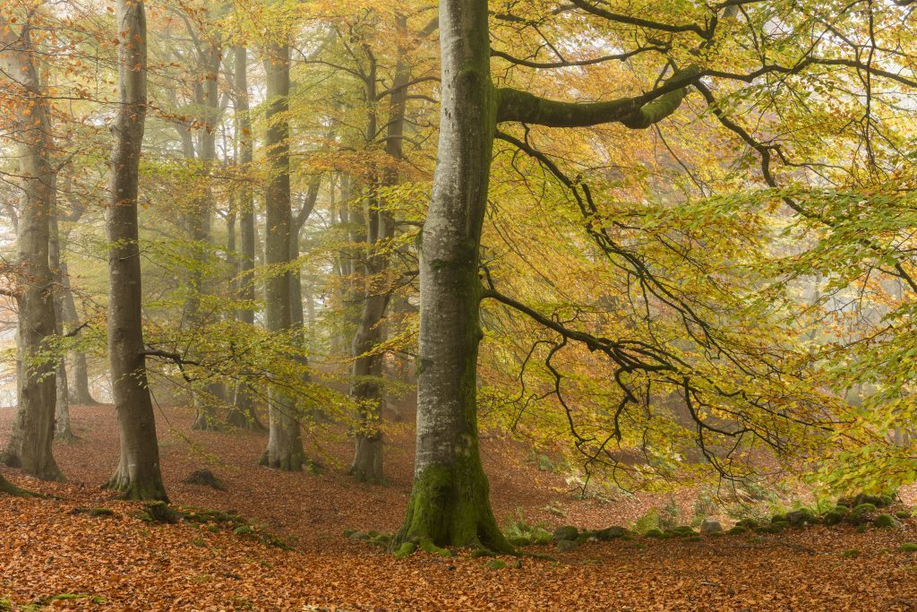 Beech woodland, Gannochy Estate, Glen Esk, Angus