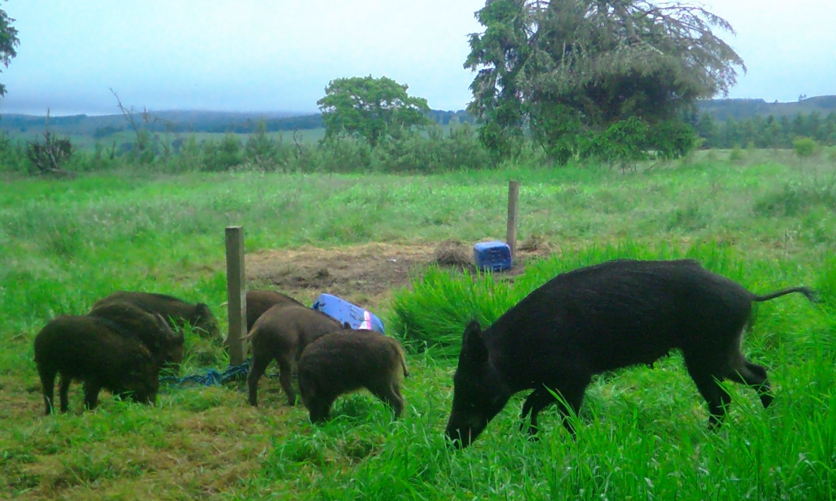 Images of feral boar taken by camera traps in Alyth.