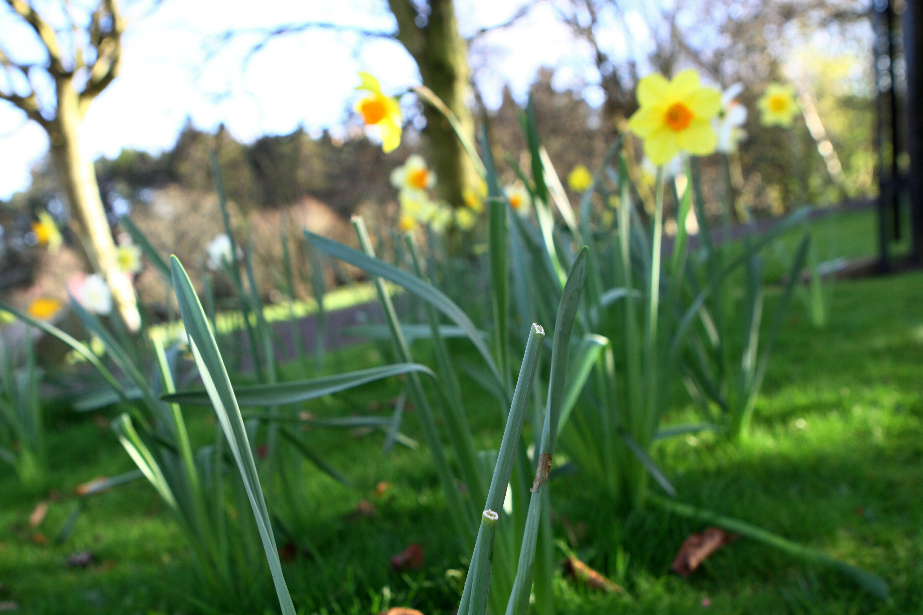 Students broke no law picking daffodils from Lade Braes for scientific study