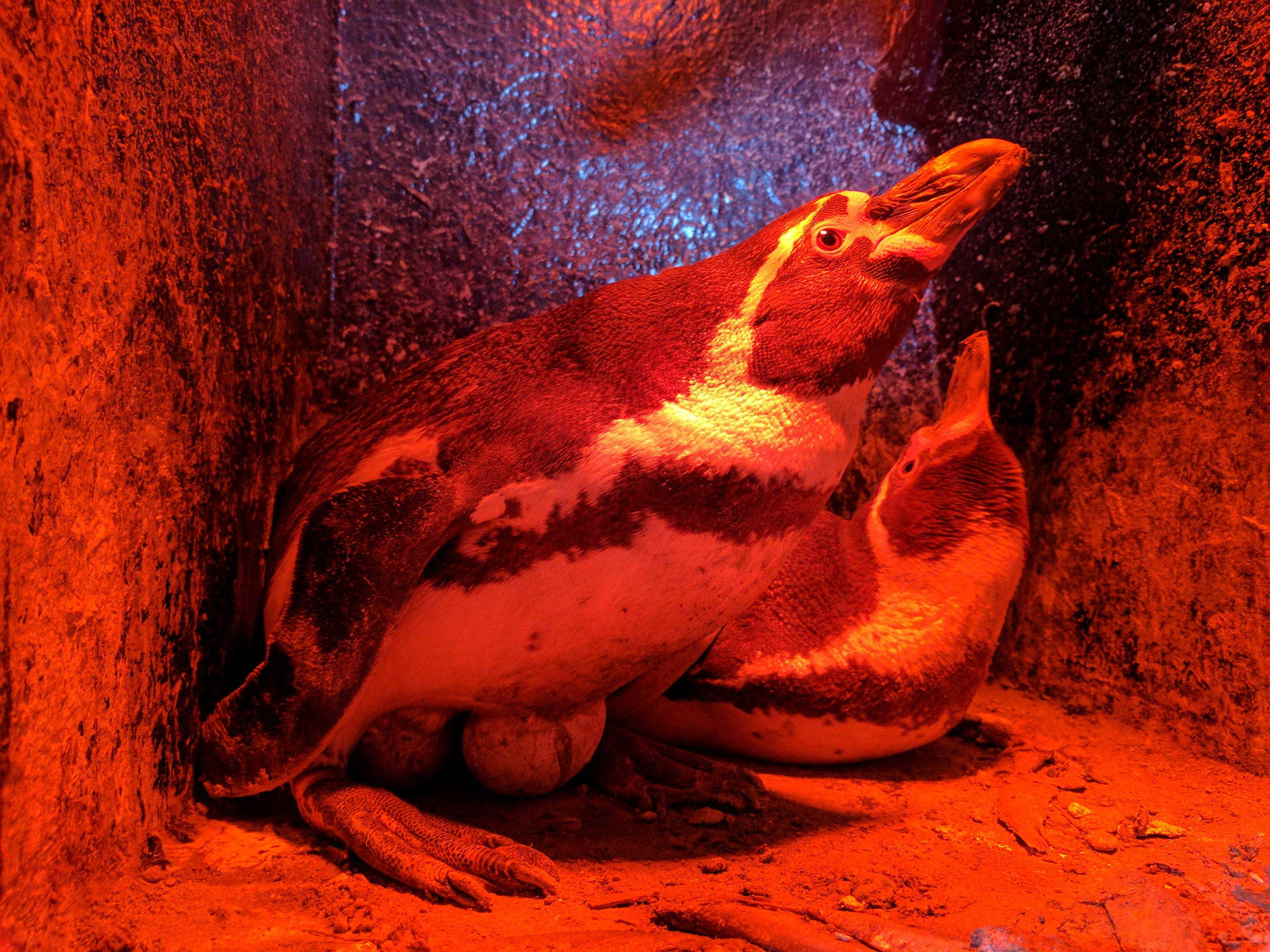 Humboldt penguins at St Andrews Aquarium keep their eggs warm with the hope of Easter holiday hatchlings.