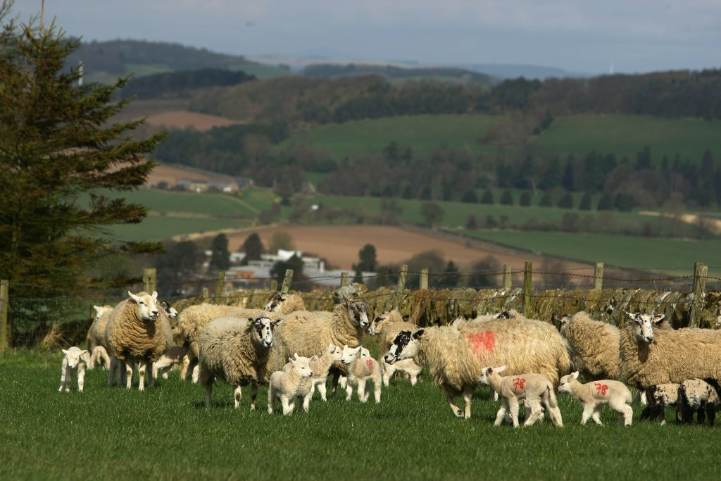 Lmbs and ewes in one of the fields at Hilltarvit Mains Farm.