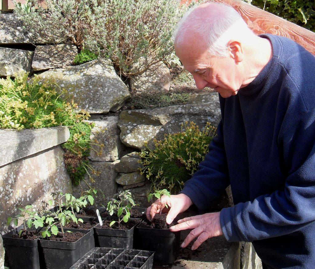 Potting up tomato seedlings