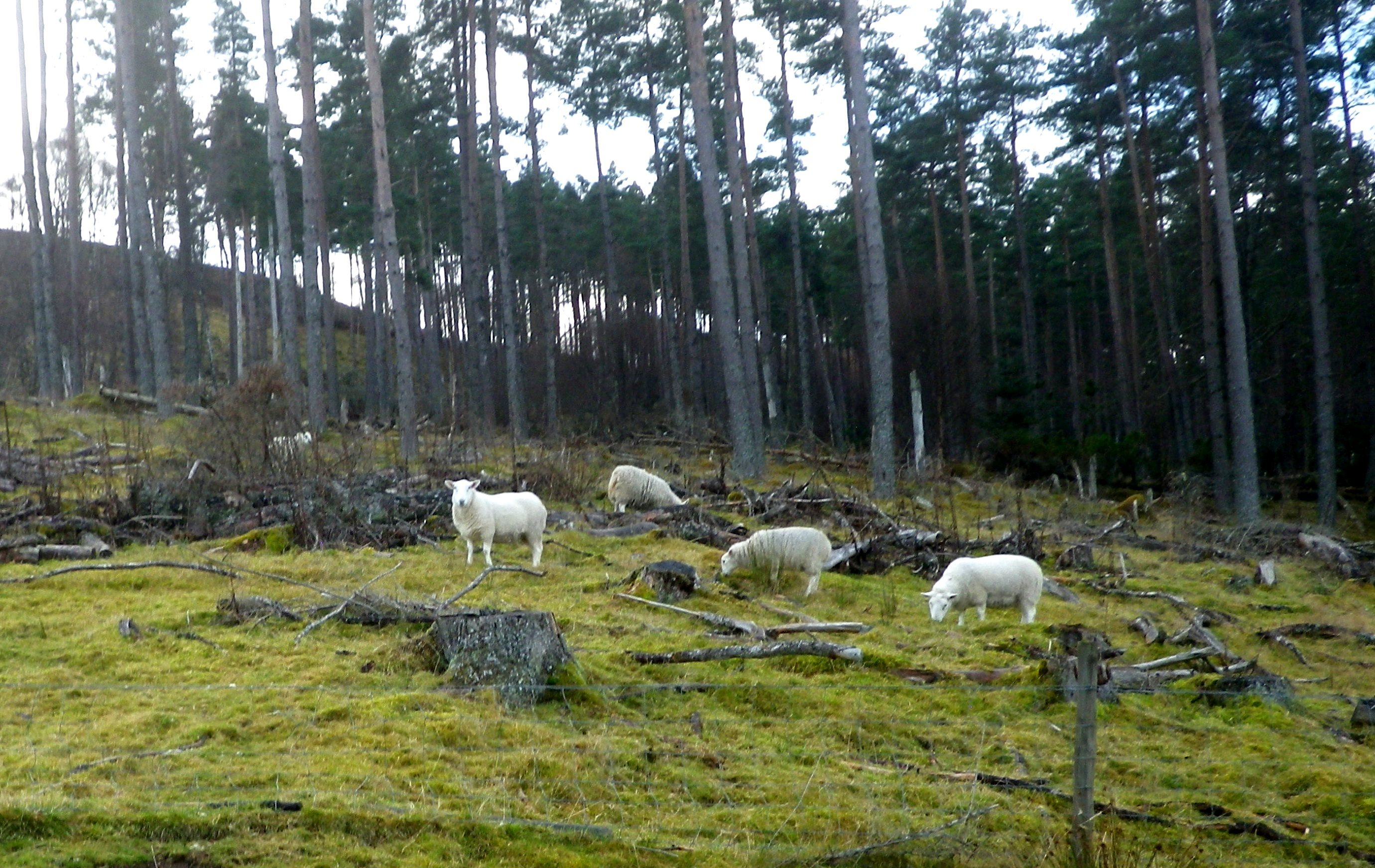 Sheep have been sighted in various forestry blocks