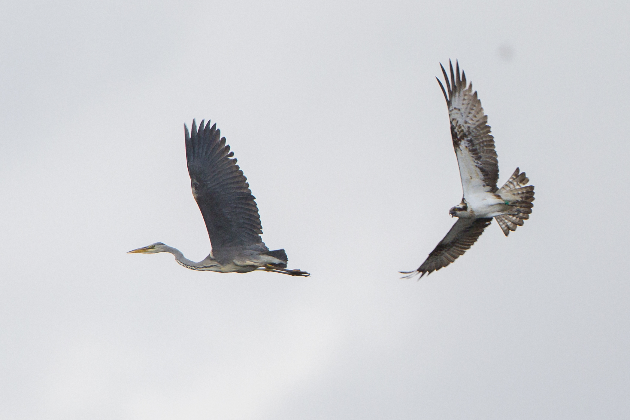 The male osprey sees off the Balgavies heron