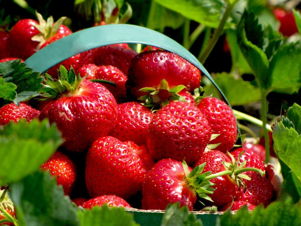 Strawberries in a Basket in the Field