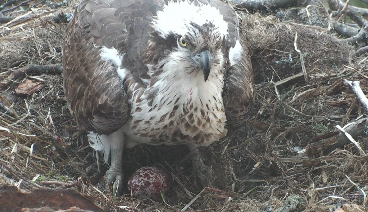 The osprey and egg at the Loch of the Lowes.