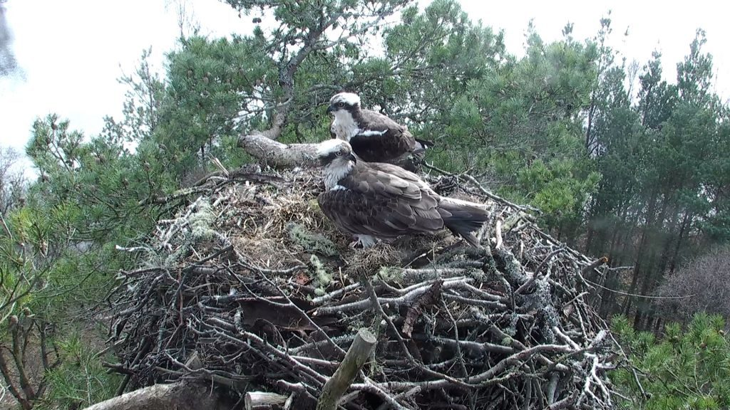An expectant mother and father on the nest above the loch.