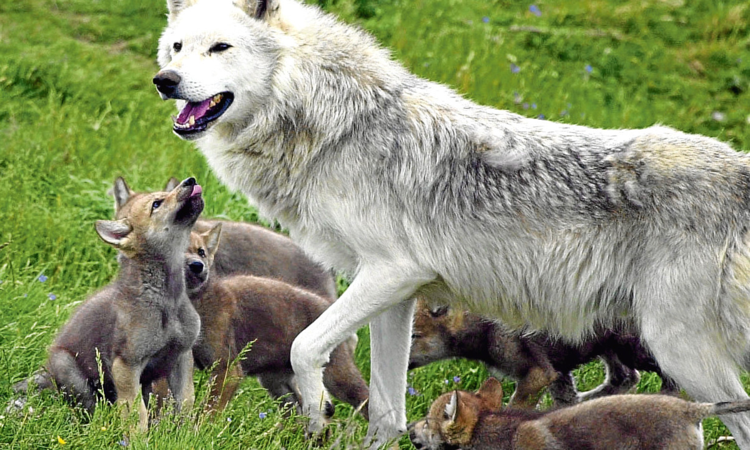 A wolf with cubs at Highland Wildlife Park, Kincraig, near Aviemore.