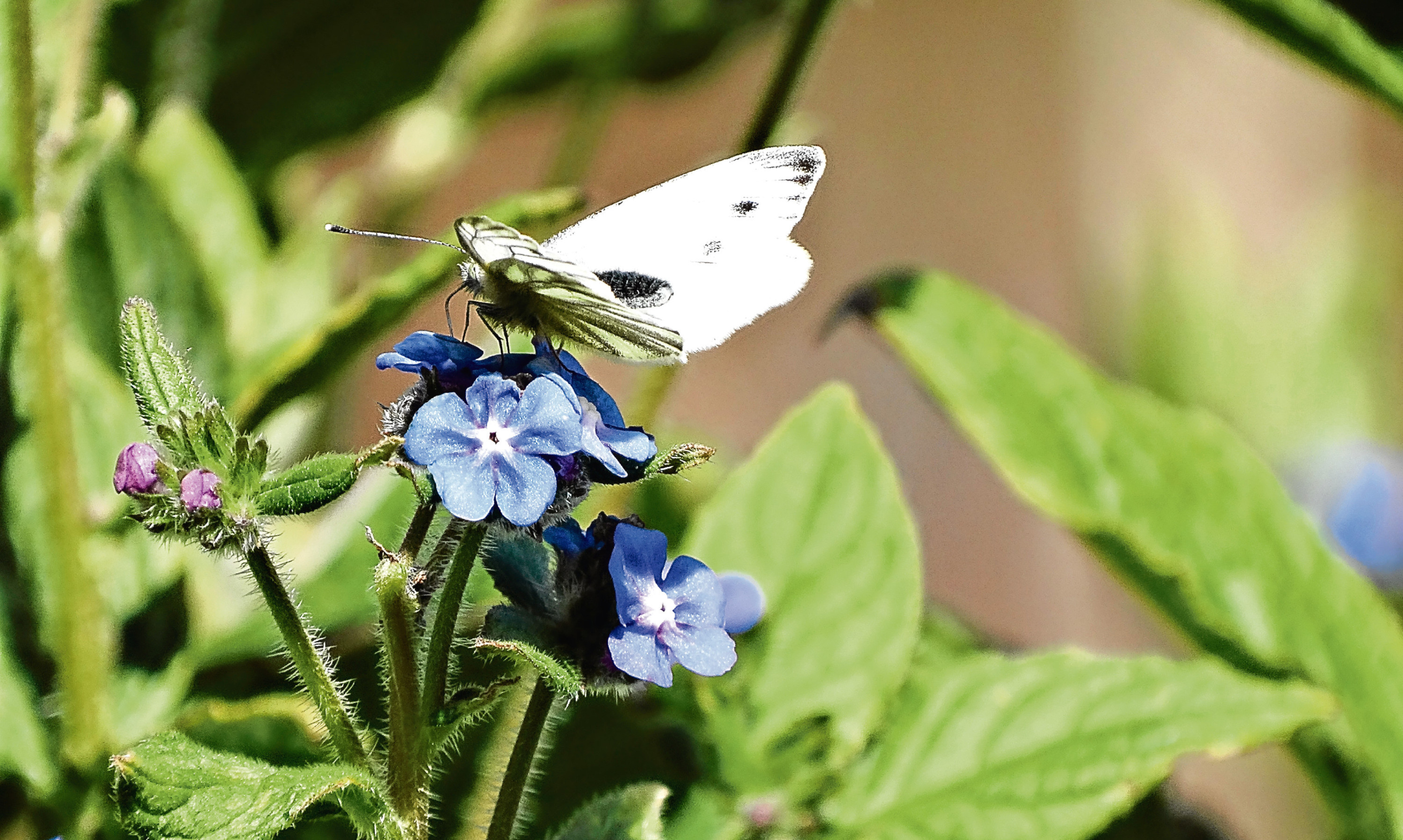 A small white butterfly feeding on blue borage.