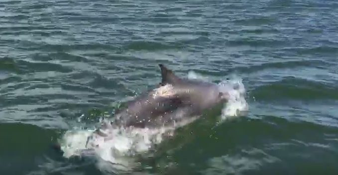 The pod of dolphins on the Tay. Screen grab from Pirate Boats Ltd's Facebook page.