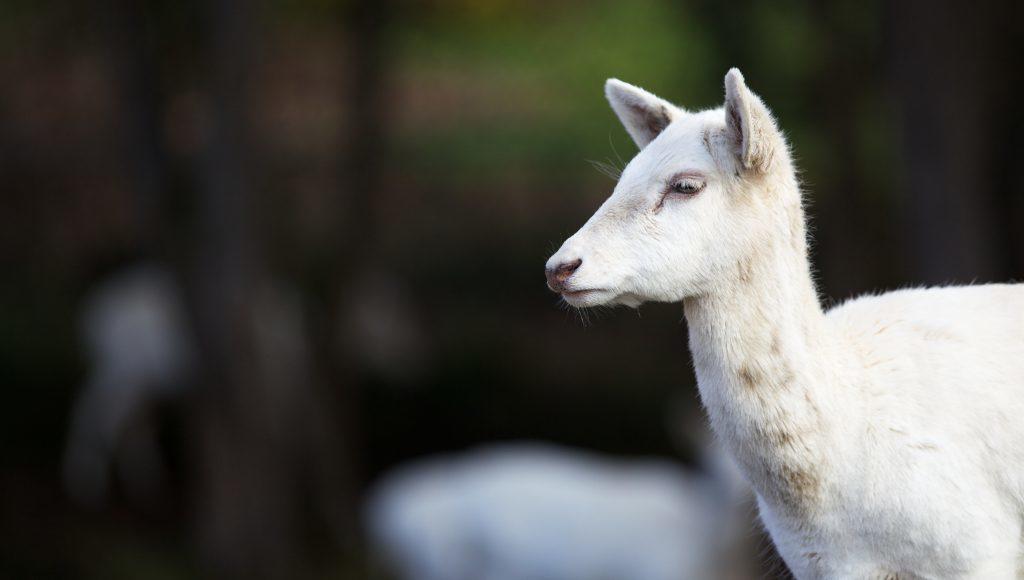 Young White Fallow Deer Head