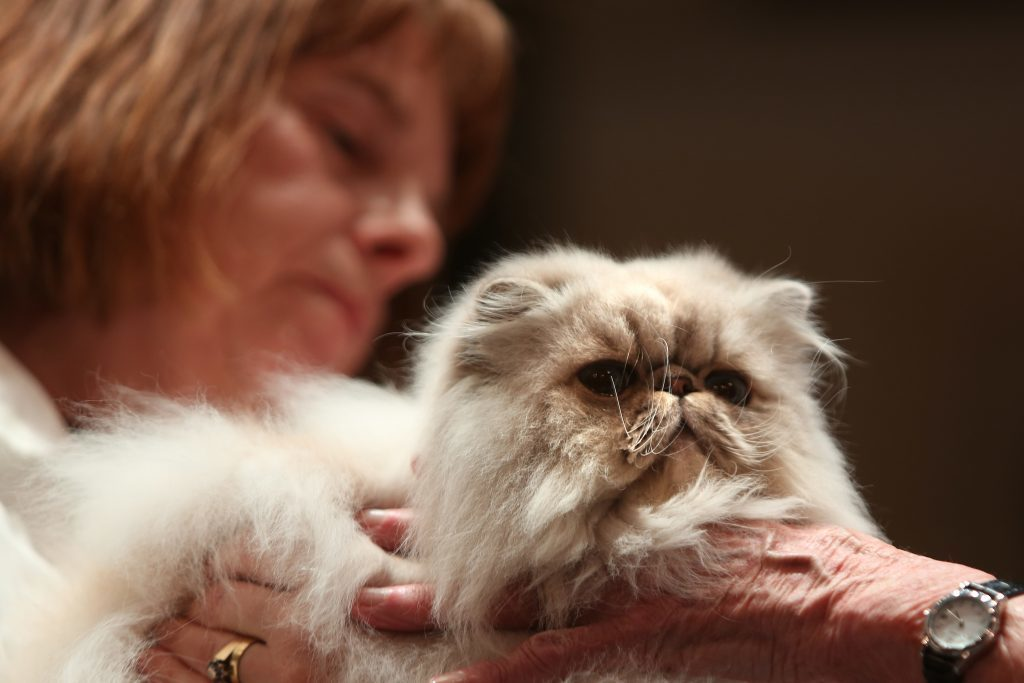 The Dundee Championship Cat Show.