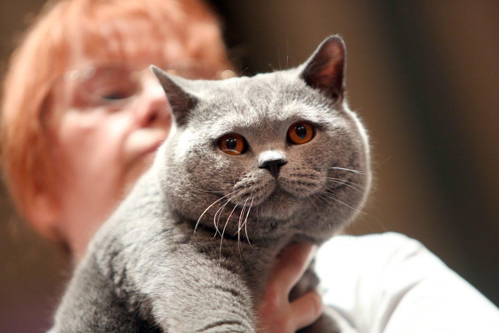 Another cat at the Dundee Championship Cat Show.