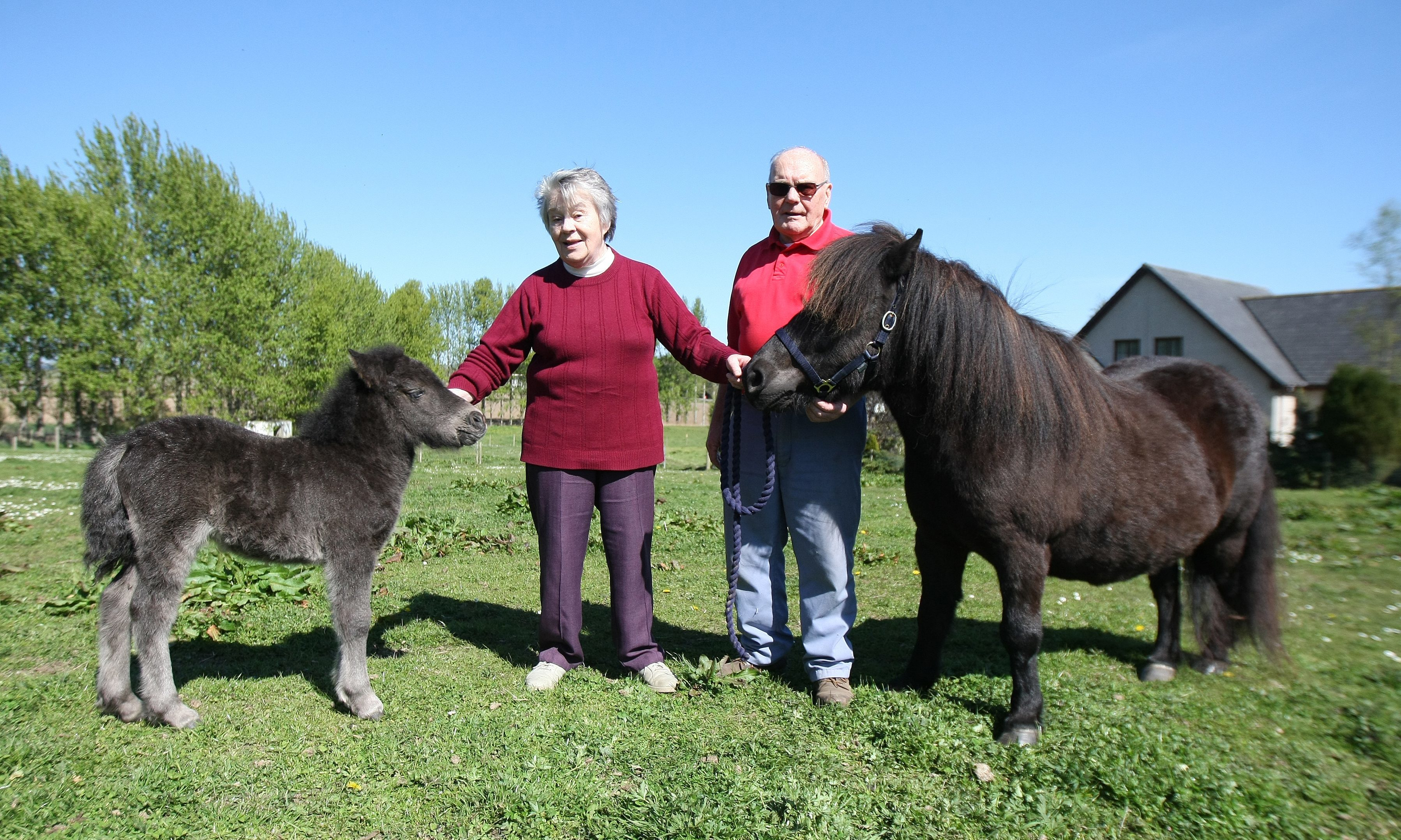 Ken and Anne Scott have bred Shetland ponies at Braes of Kerryston, Kellas, for almost 30 years. Picture: Kris Miller