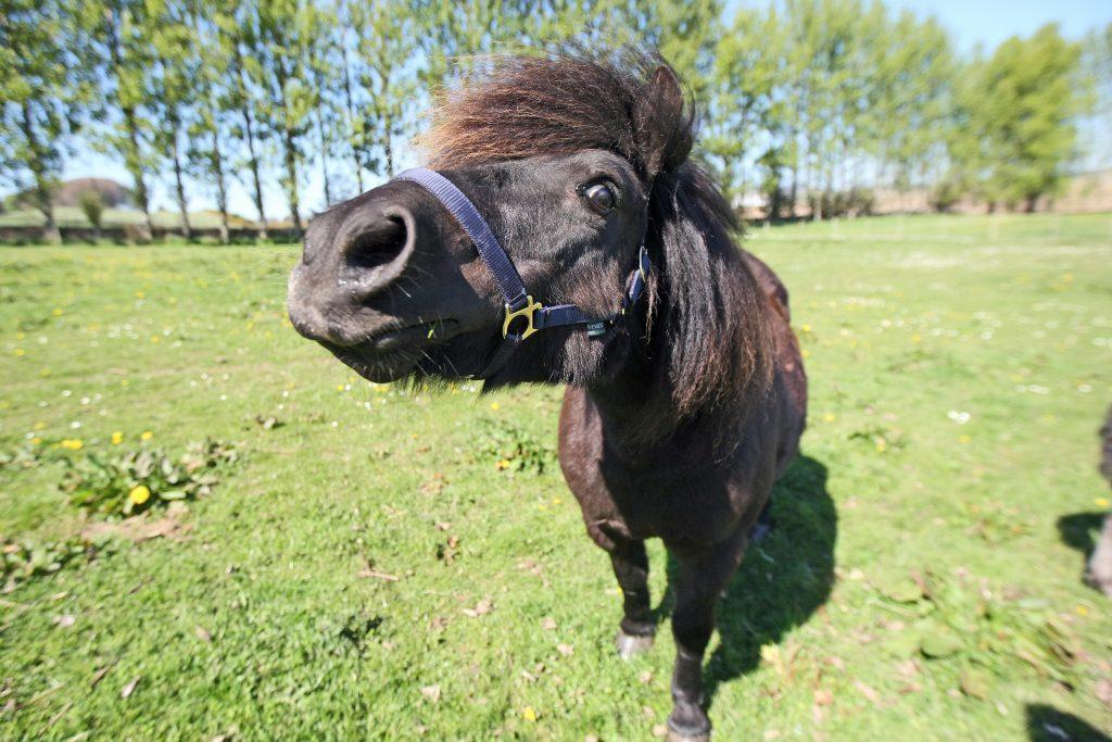 KMil_Shetland_Ponies