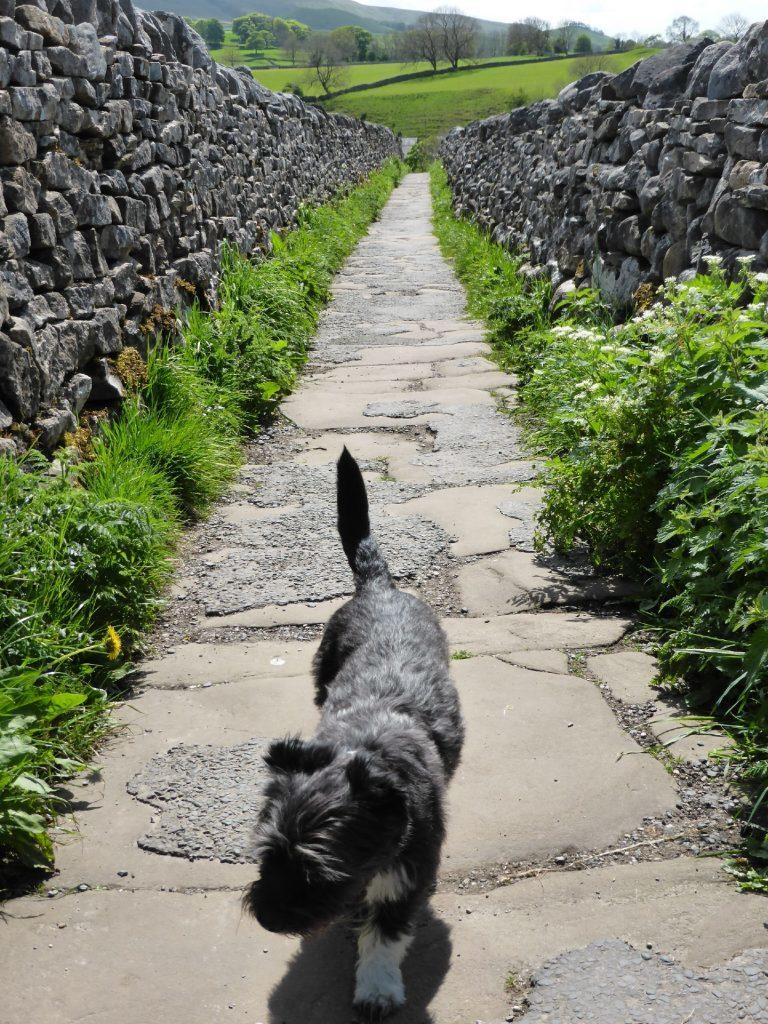 Minnie on a Dales walk.