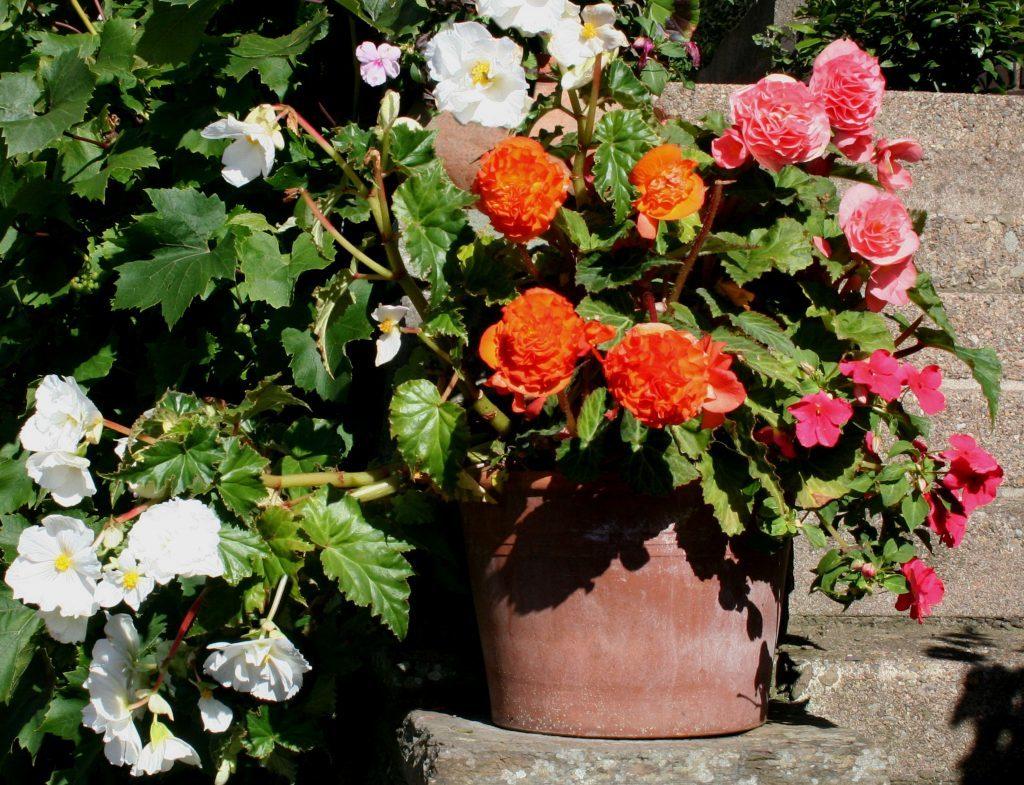 Mixed begonias in pot