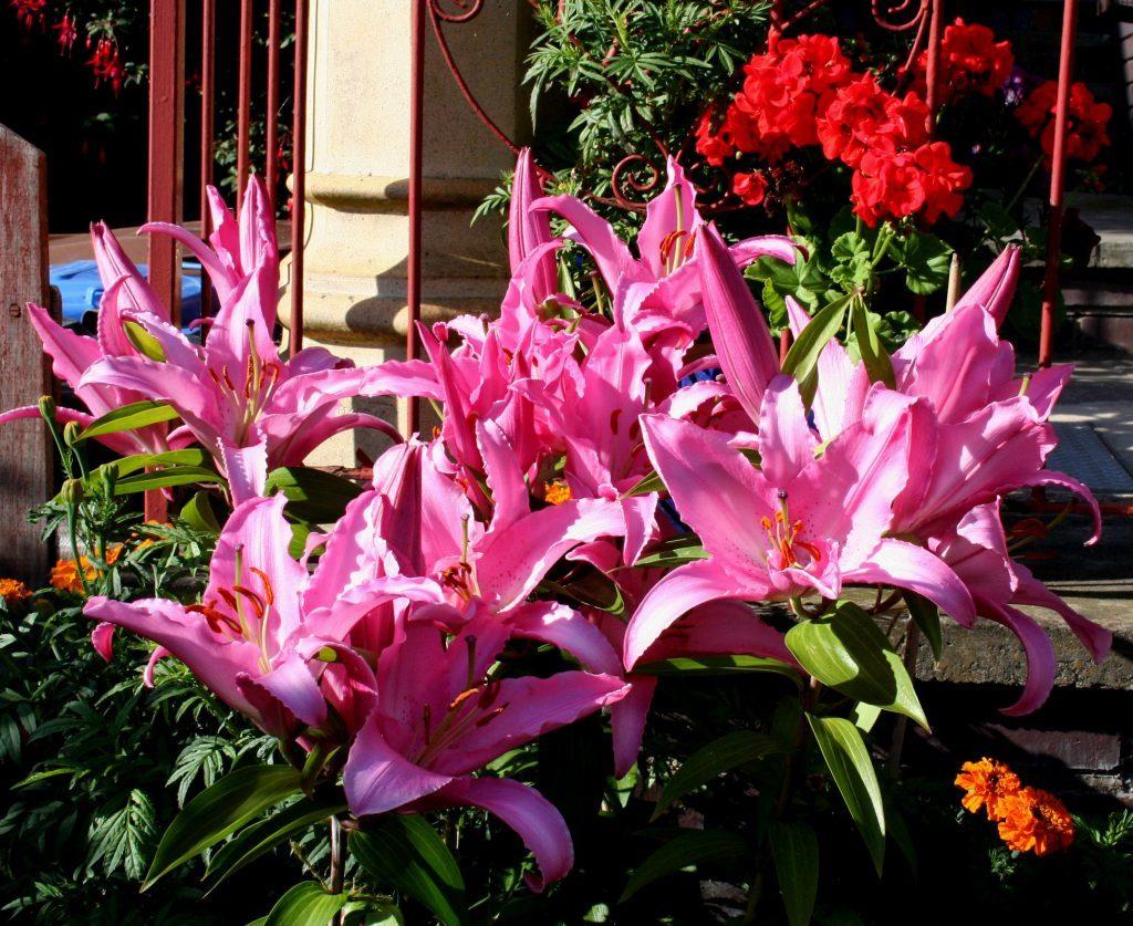 Oriental Lily Chelsea
