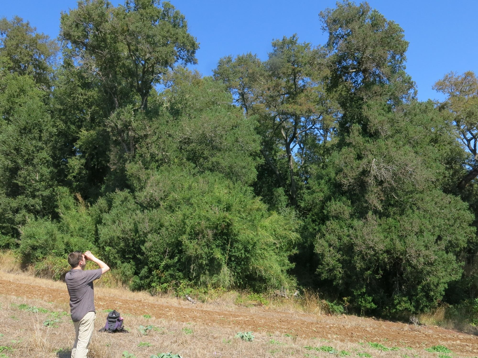Tom Christian studies a Chilean Plum Yew.