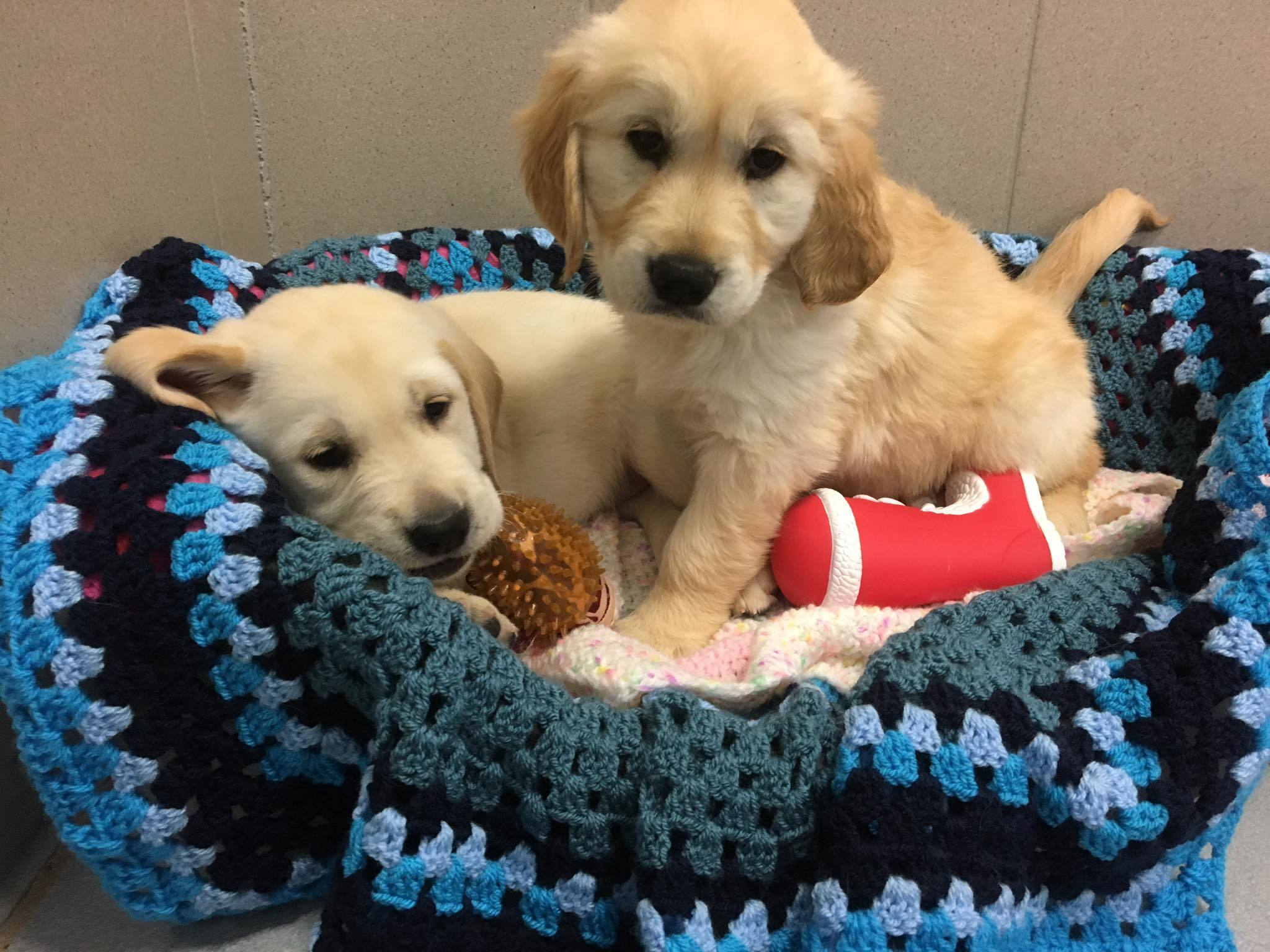Volunteers are being sought to offer a temporary home to guide dog puppies.