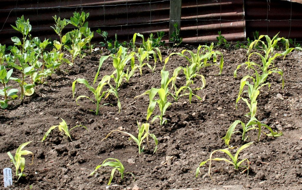 Young sweet corn just planted