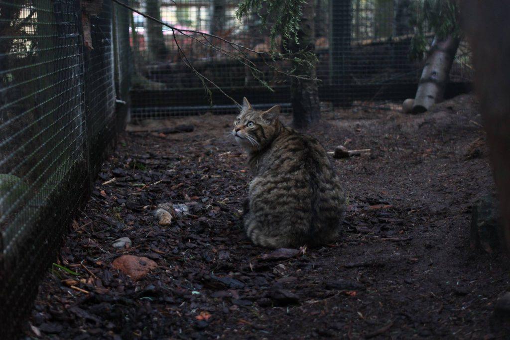 A Scottish wildcat in the Highland Wildlife Park.