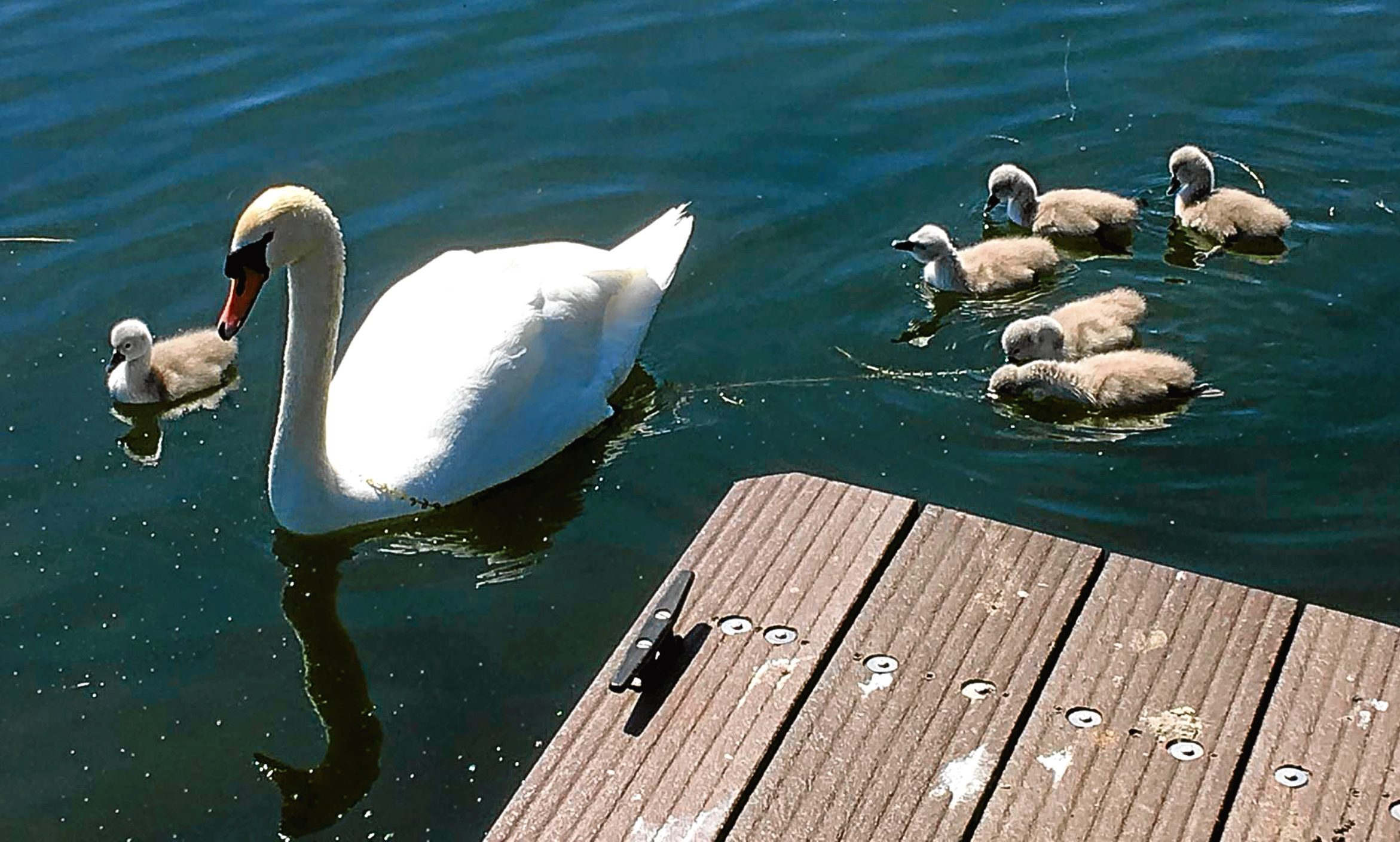Cygnets at Kinghorn Loch