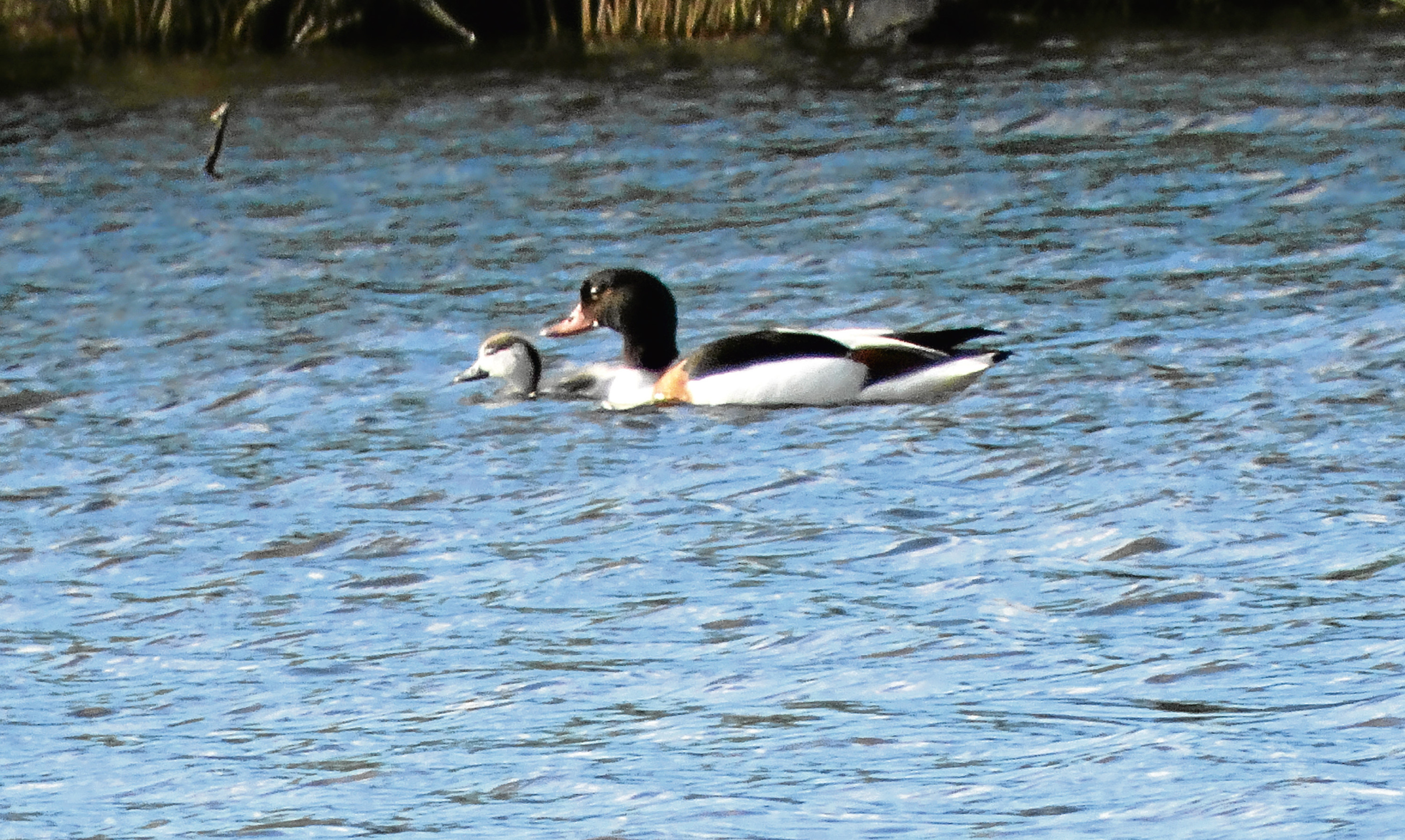 The shelduck on the loch at the foot of Glenesk and its one surviving duckling. Angus fears predators may have left her with just the single survivor.