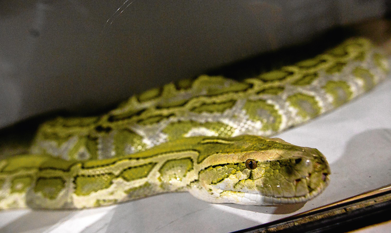 A 14-foot hypo-Burmese python belonging to a man from Alva.