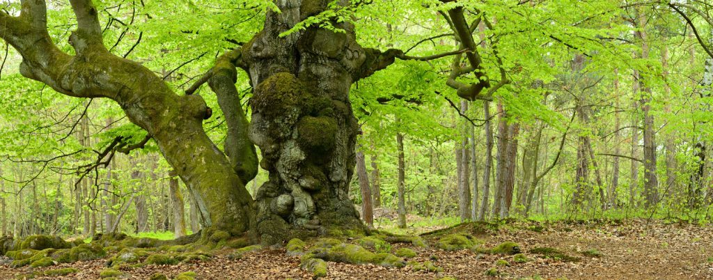 Beech trees are in abundance in Eifel National Park and this gnarly one is much-loved.