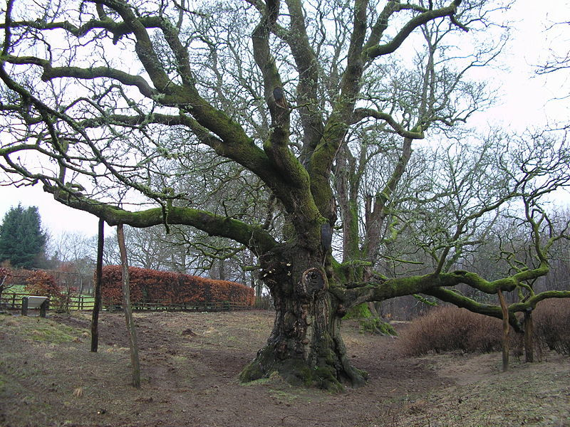 Birnam Oak is the last remnant of the wood featured in the play.
