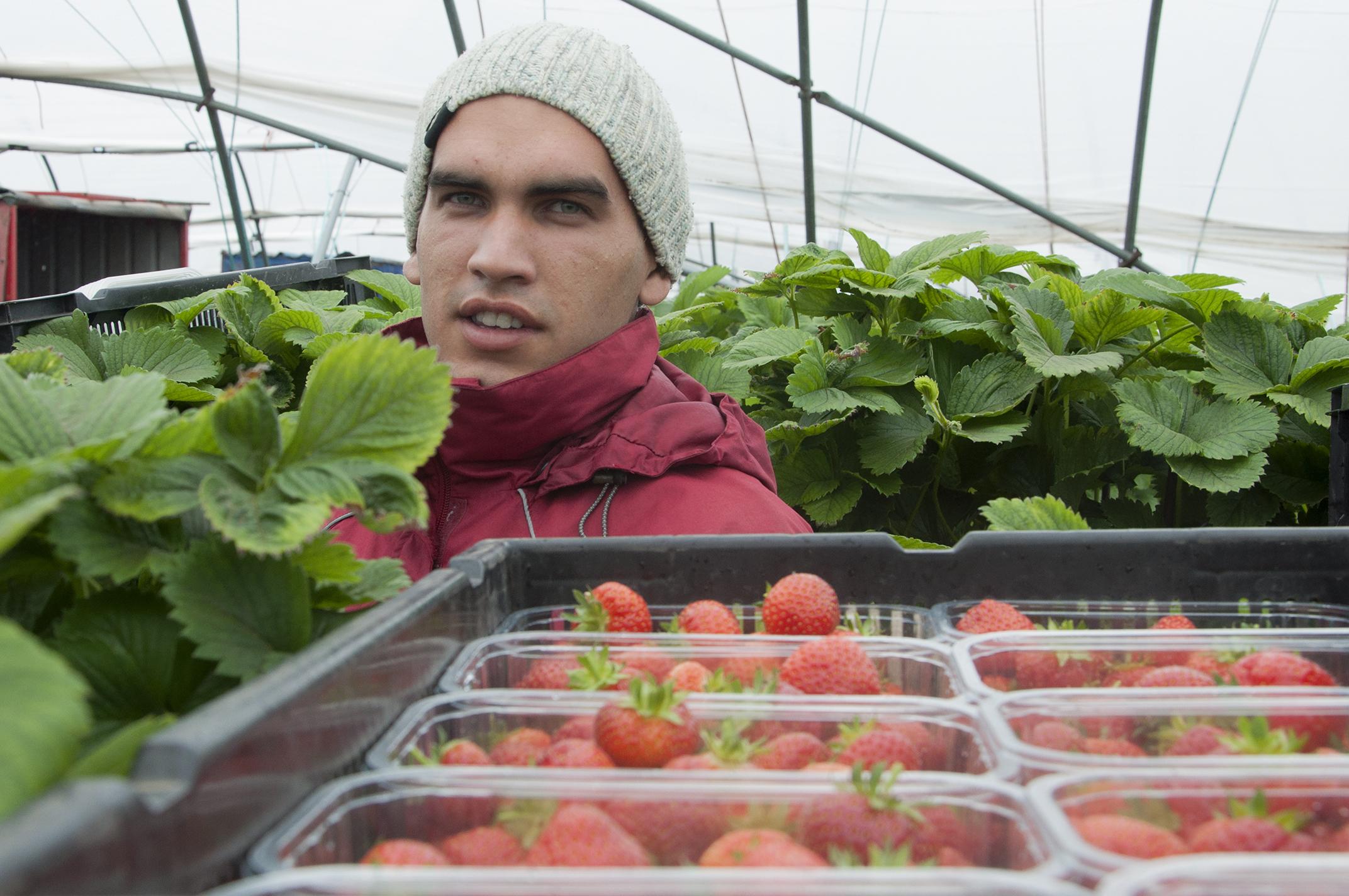 East European soft fruit pickers. Picture shows;  Nayden Naydenov,