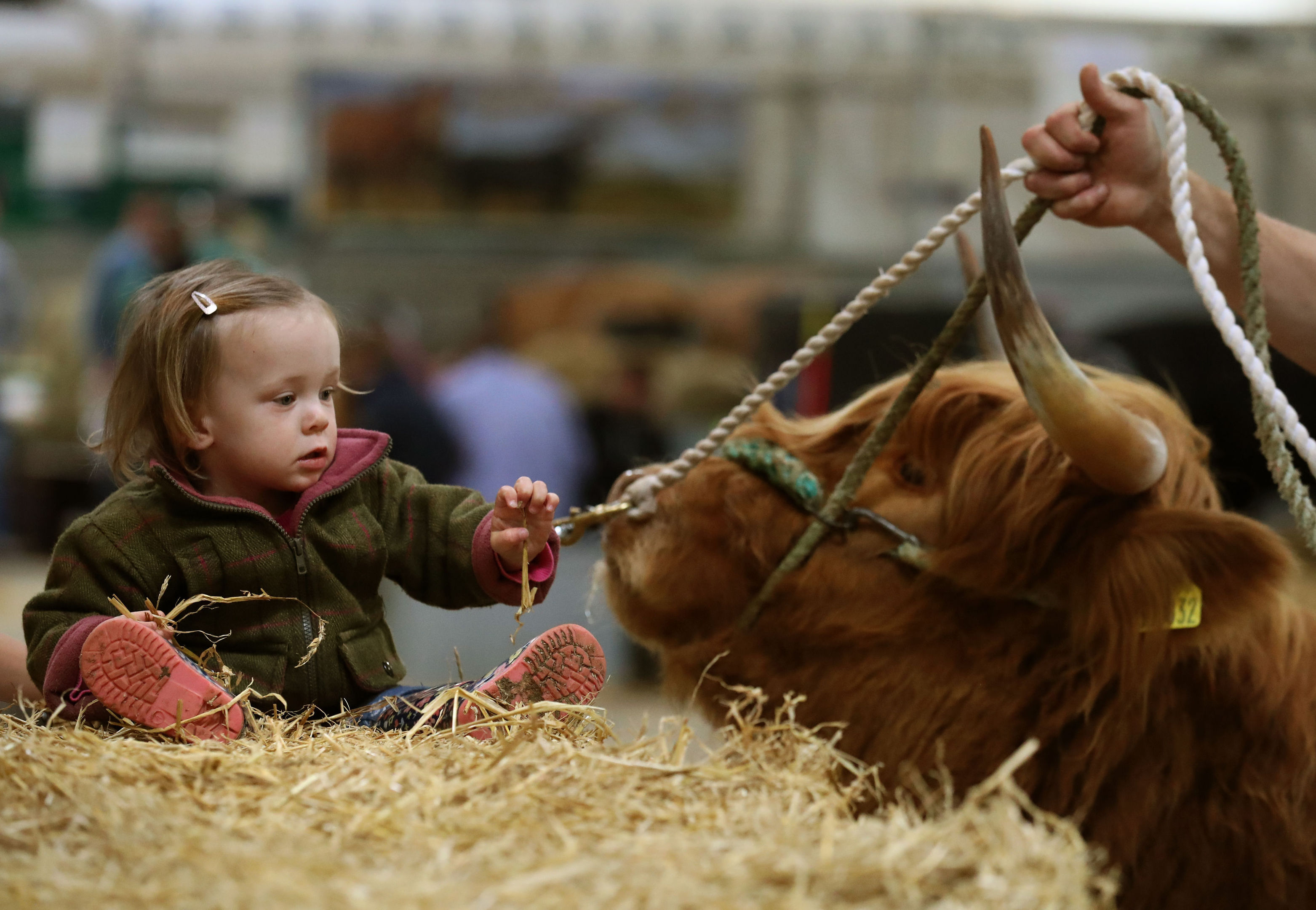 Esme Buckle from Dumfries watches a Highland Cow.