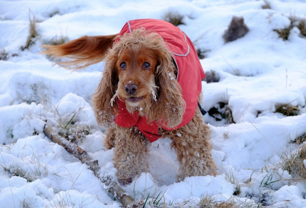 Could your dog be Tiso's Ambassadog 2017? Sophie the Cocker Spaniel hopes so!