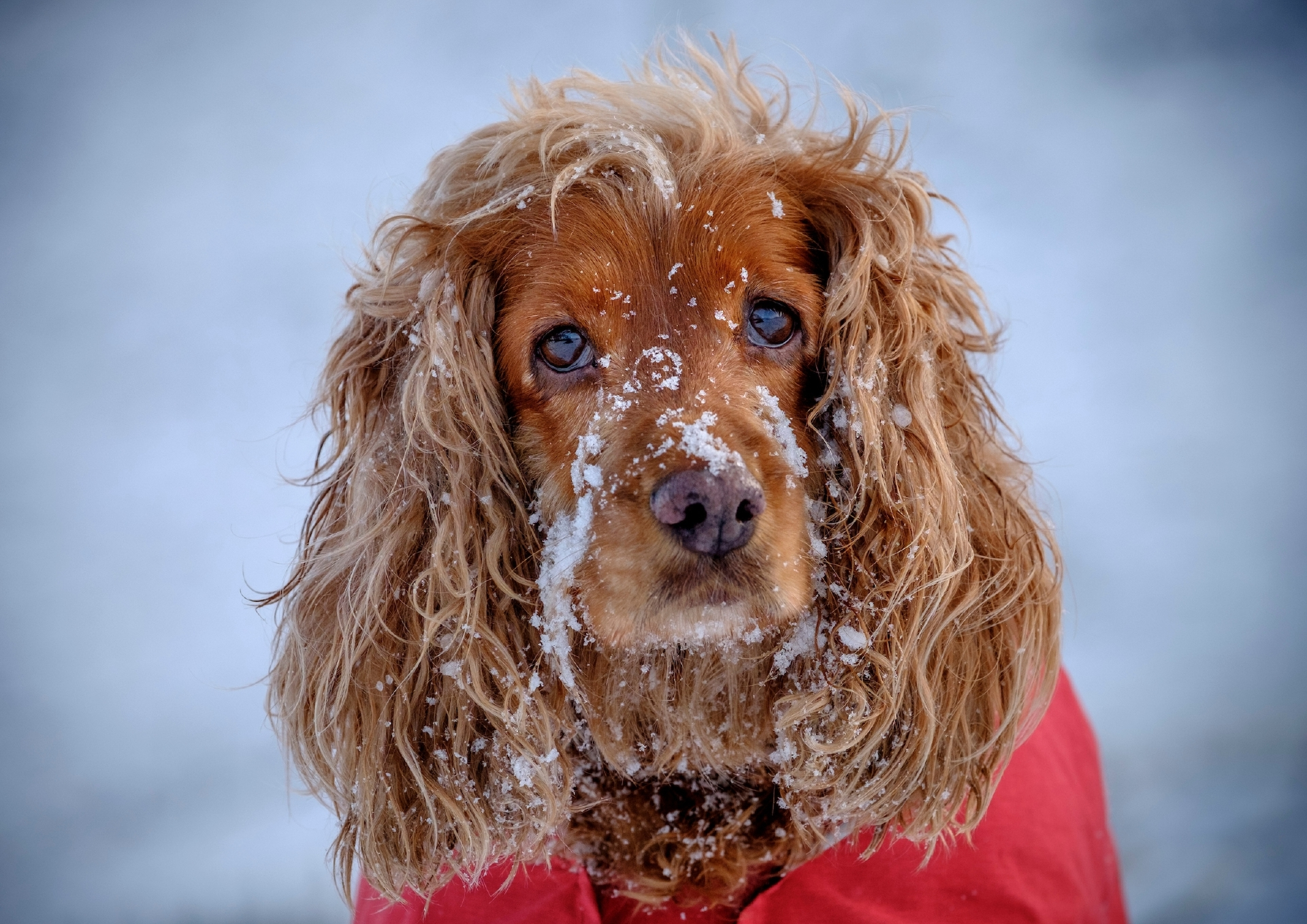 Sophie, an eight year old Cocker Spaniel demonstrates the use of the Ruffwear winter wear for dogs in the Pentland Hills near Edinburgh.